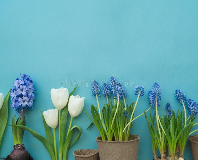 Dekorative Zusammensetzung Ostern auf einem blauen Hintergrund Weiße Tulpen, Blumentöpfe, unbemalte Eier und ein Baum lizenzfreies stockbild