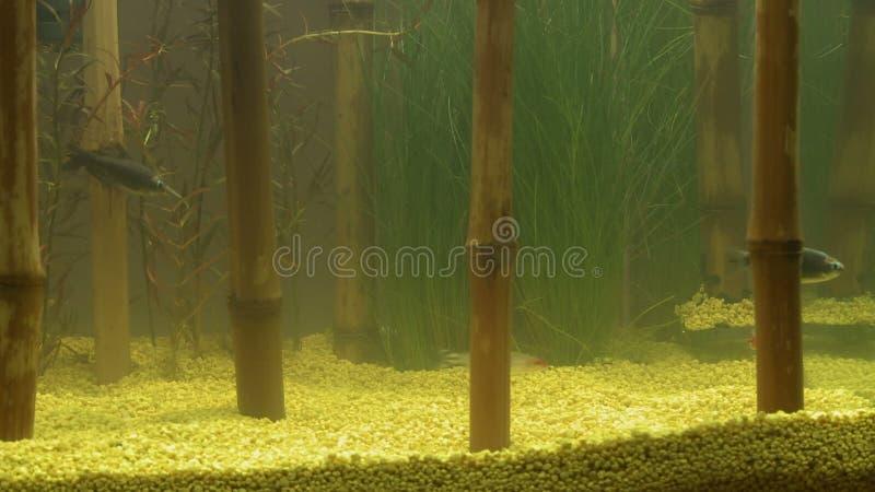 Dekorativer Bambus Im Aquarium Und In Den Fischen Stock Footage
