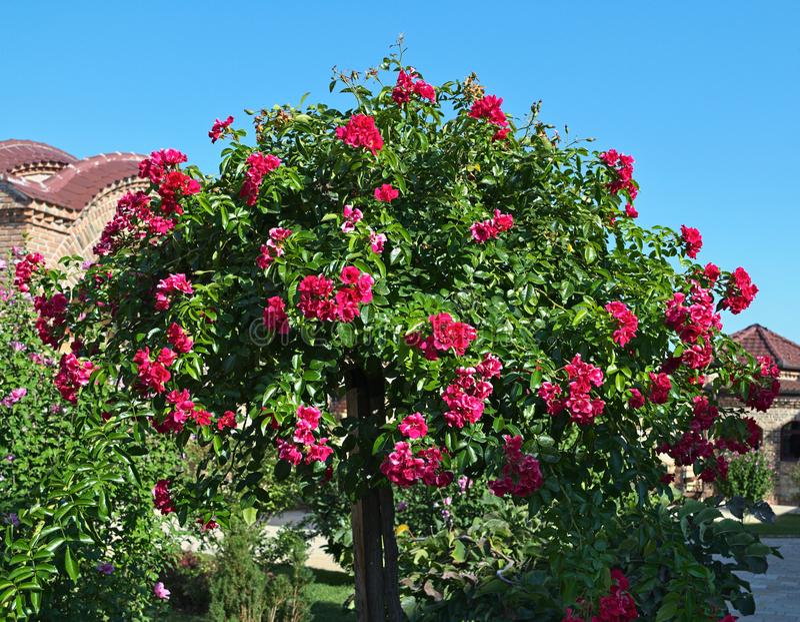 Dekorativer Baum, der mit großen roten Blumen blüht stockfotografie