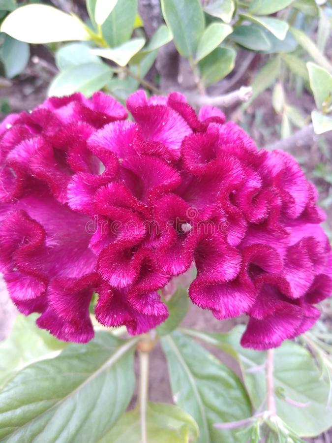 Dekorativer Hahnenkamm, Celosia cristata Blumenanlage stockfoto