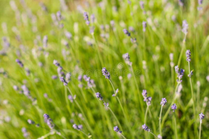 Dekorativer Lavendel Lavandulabusch in einem Hausgarten stockfoto