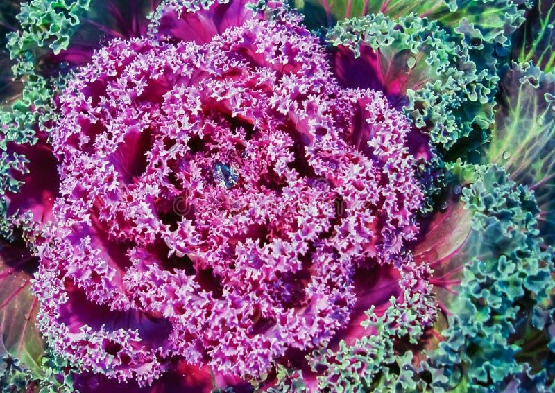 Dekorativer purpurroter Kohl mit einem Wassertropfeninnere lizenzfreies stockbild