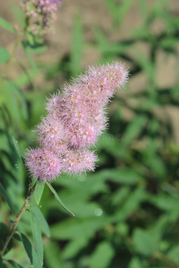 Dekorativer Strauch mit dem rosa kleinen Blumenwachsen stockfotografie
