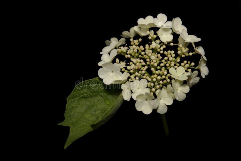 Dekorativer Strauch mit weißen Blumen stockfotografie