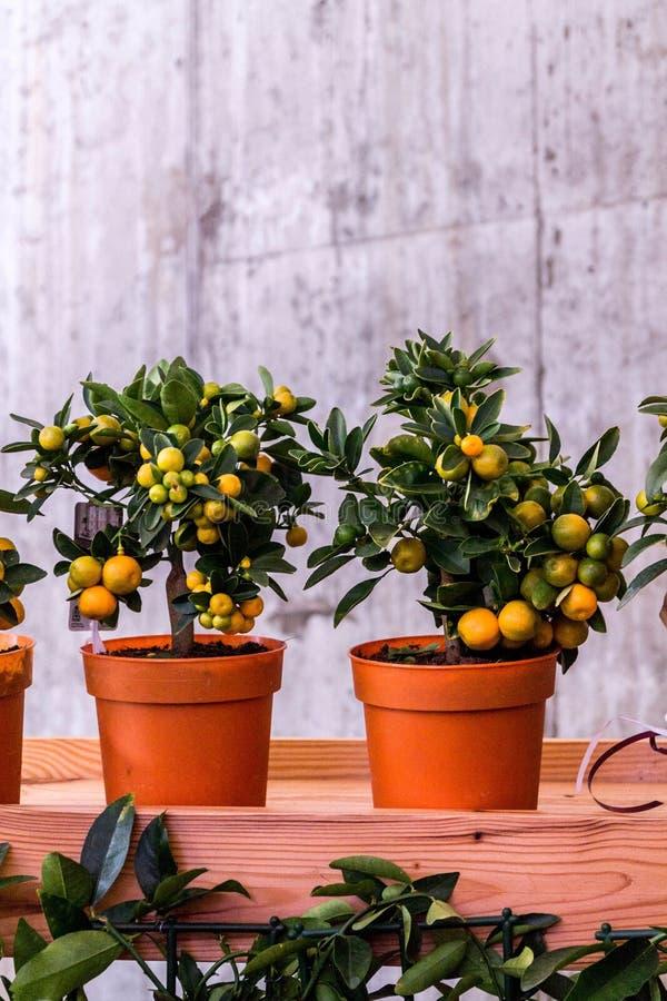 Dekorativer Zitrusfruchtbaum Obstbaum in einem Topf Orangenbaum in einem Topf stockbilder