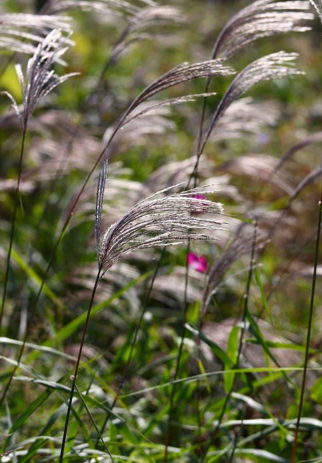 Dekoratives Gras lizenzfreie stockbilder