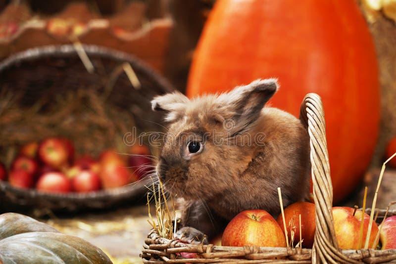 Dekoratives Kaninchen im Herbststandort, sitzend unter den Kürbisen des Heus und der Äpfel stockfotografie