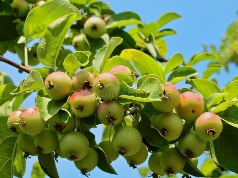 Dekorativt äppleträd med massor av äpplen fotografering för bildbyråer