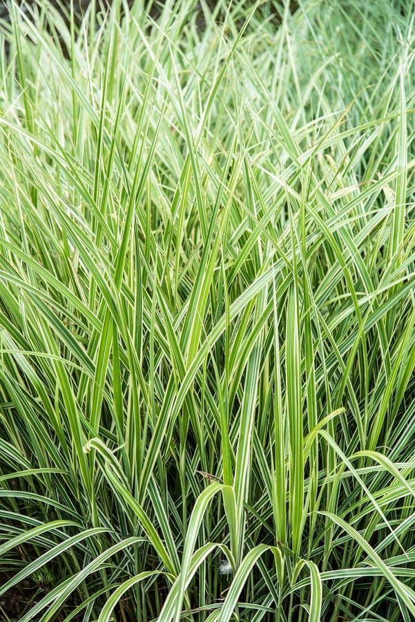 Dekorativt gräs för att landskap arkivfoto
