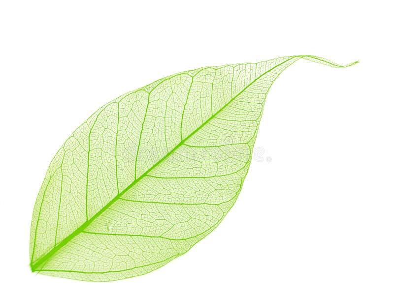 dekorativt leafskelett royaltyfri foto