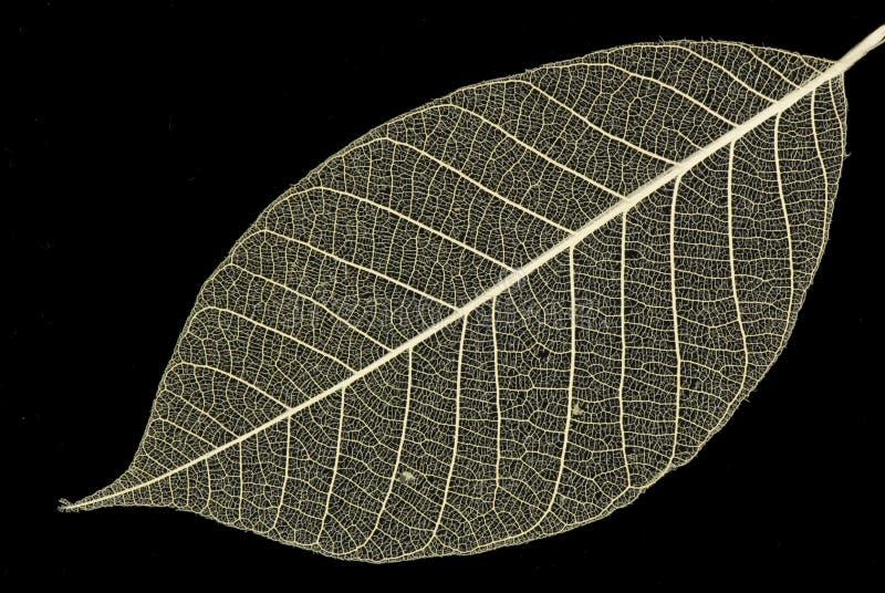 dekorativt leafskelett arkivbilder