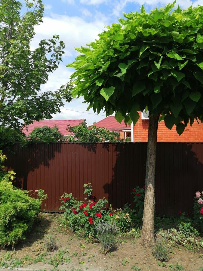 Dekorativt träd med stora sidor och vita blommor arkivfoton