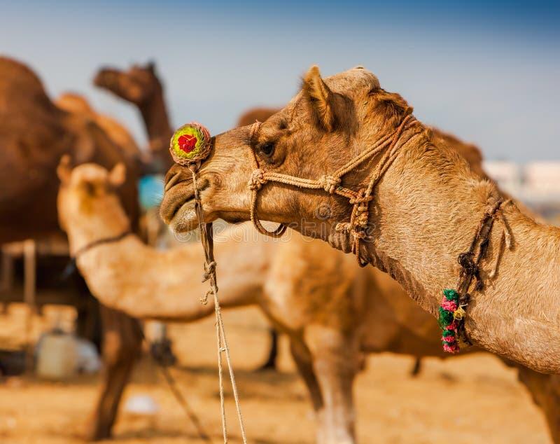 Dekorujący wielbłąd przy Pushkar jarmarkiem - India zdjęcia royalty free