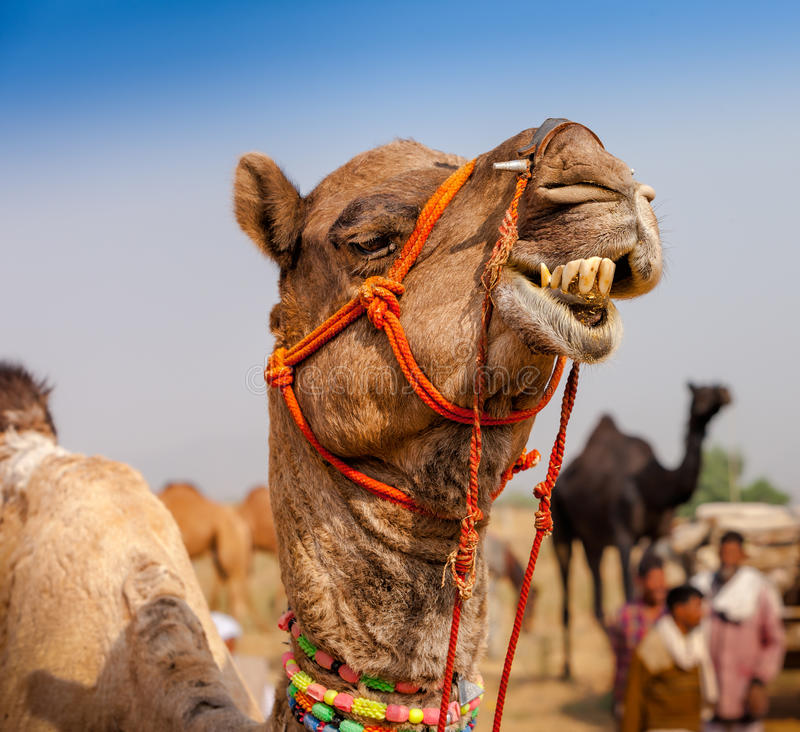 Dekorujący wielbłąd przy Pushkar jarmarkiem - India obraz stock