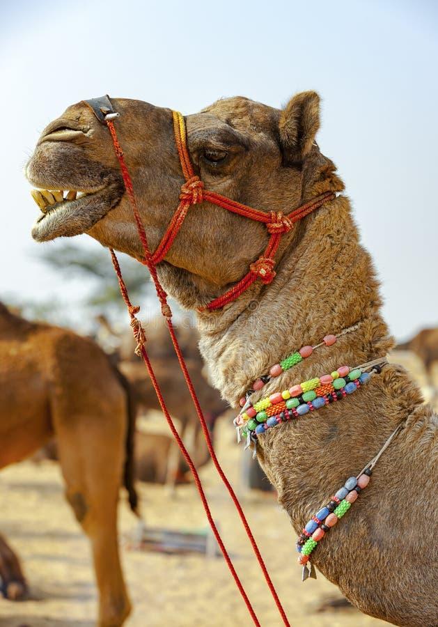 Dekorujący wielbłąd przy Pushkar jarmarkiem - Rajasthan, India, Azja fotografia stock
