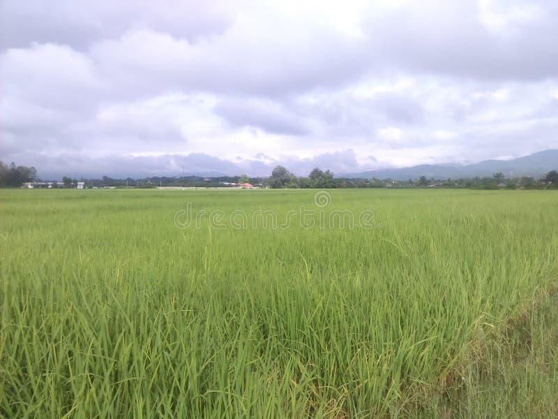 ¾ del 🌠dell'azienda agricola del riso fotografia stock