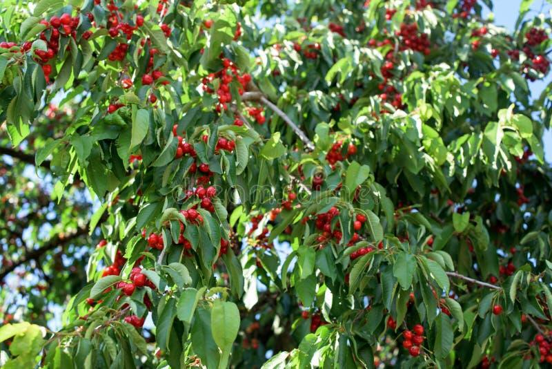 Del av det körsbärsröda trädet med röda frukter arkivfoto