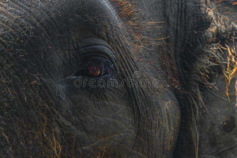 Del av det Sumatra elefanthuvudet med det enorma ögat royaltyfri fotografi