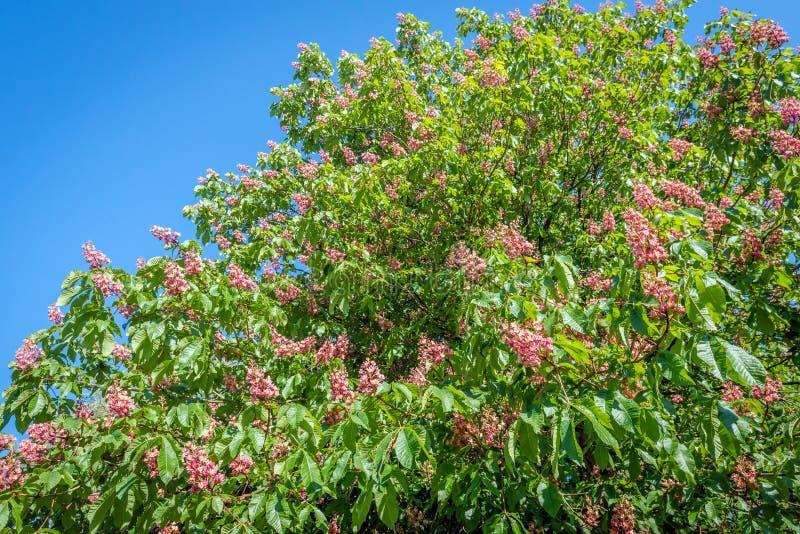 Del av en knoppning och ett blommande rött häst-kastanj träd från clos arkivfoton