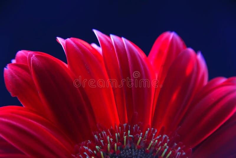 Del av huvudet av en röd gerberablommanärbild på en mörk bakgrund fotografering för bildbyråer