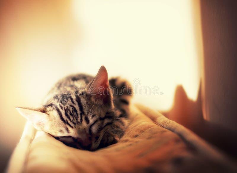 Del Bengala sonno del gattino delicatamente nel raggio del sole fotografia stock