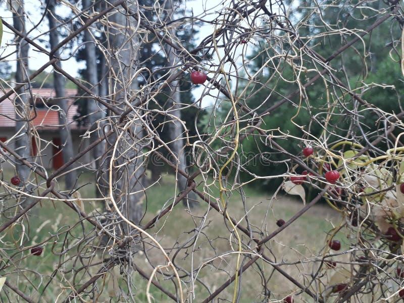 Del bosque de frutos de l'enredadera y d'escroquerie d'Alambre photo stock