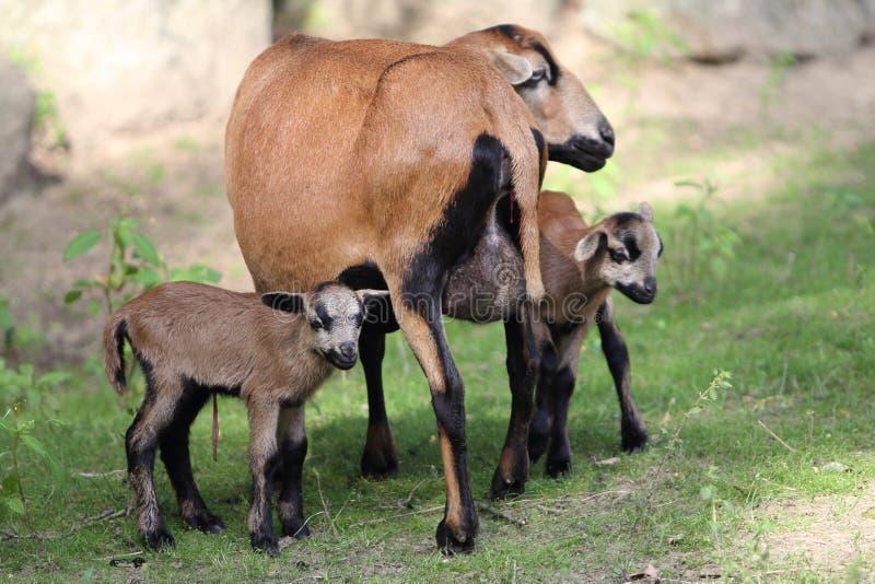 Del Camerún del enano ovejas blackbelly imágenes de archivo libres de regalías