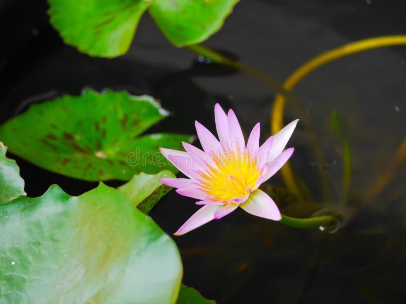 Del color flor de loto rosada waterlily con cierre encima de la visión imagen de archivo