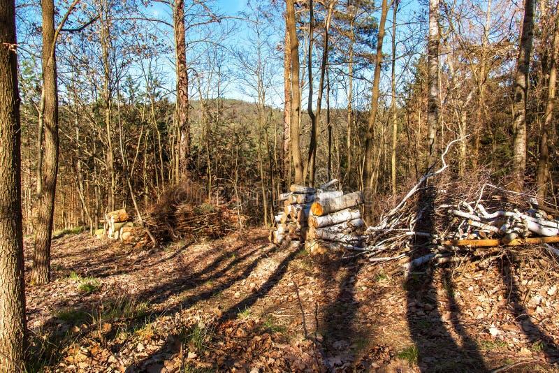 Del corte abedul en una pila en el trabajo del bosque en árboles de la tala del bosque Leña Tarde de la primavera en el bosque fotografía de archivo libre de regalías