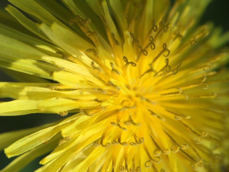 Del diente de león cierre y amarillo abstractos para arriba fotografía de archivo