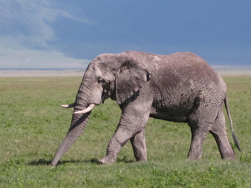 del elefante nel parco serengeti 库存图片