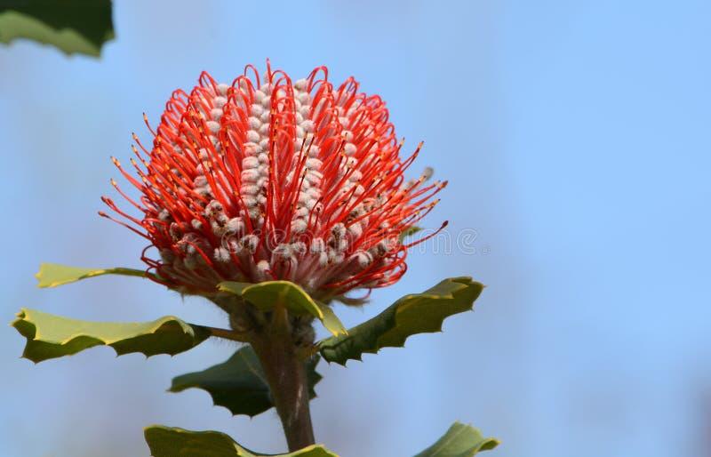 Del fiore di Banksia di Banksia di coccinea color scarlatto rosso australiano immagini stock