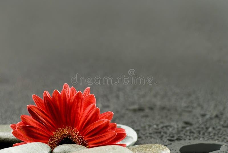 Del gerbera todavía de la flor vida roja fotografía de archivo libre de regalías