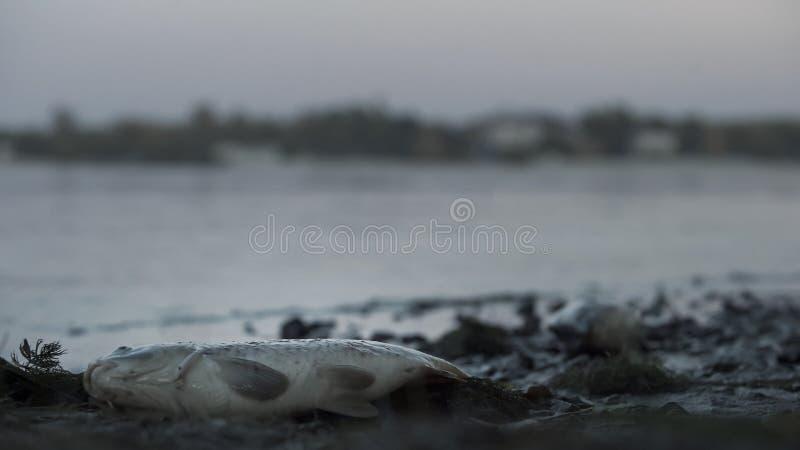 Del hedor pescados absolutamente que mienten en la orilla del río, basura tóxica que daña la naturaleza, envenenamiento del agua fotos de archivo