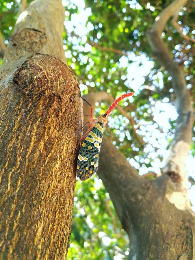 Del insecto del insecto cadelaria de los pyrops lanthernfly en árbol imagenes de archivo