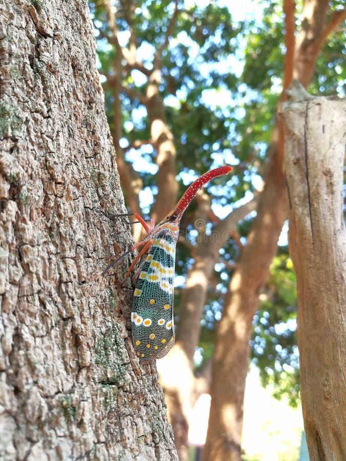 Del insecto del insecto cadelaria de los pyrops lanthernfly en árbol fotos de archivo libres de regalías