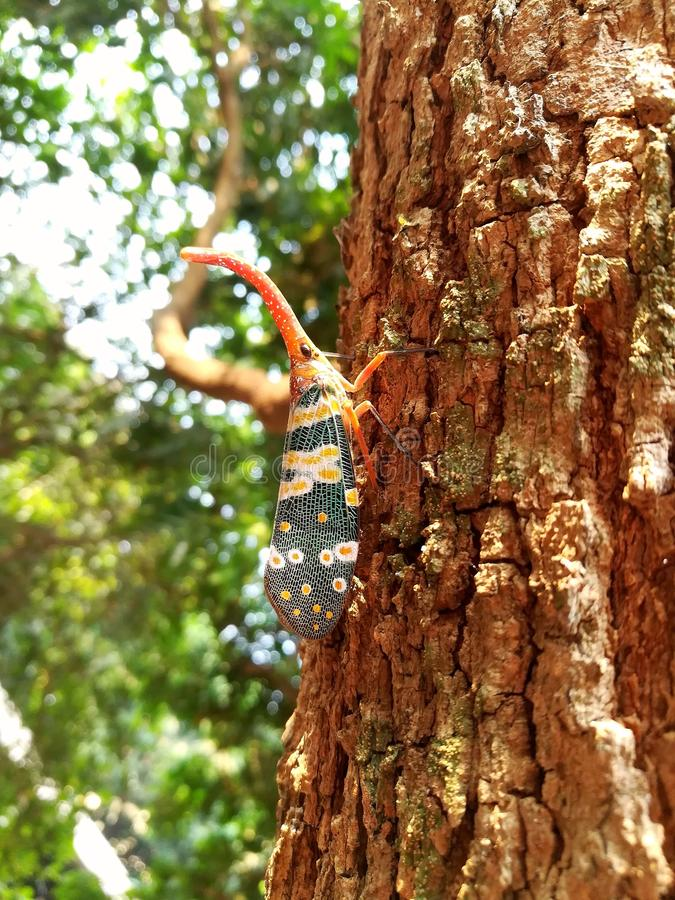 Del insecto del insecto cadelaria de los pyrops lanthernfly en árbol foto de archivo
