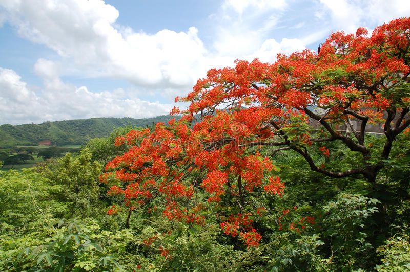 del Juan δέντρο της Νικαράγουας στοκ φωτογραφίες