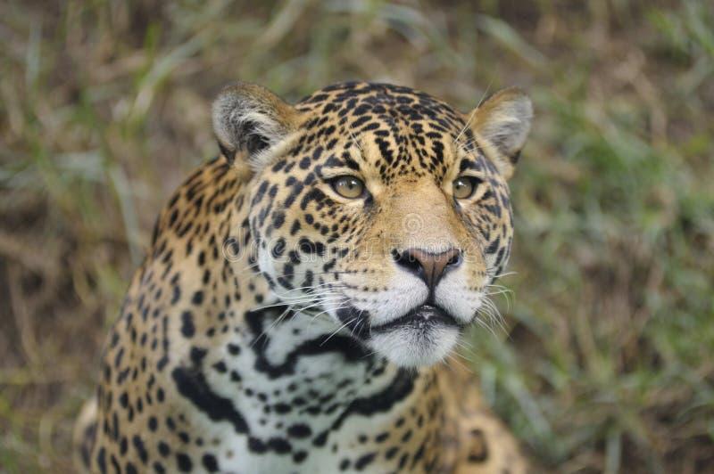 Del leopardo cierre para arriba foto de archivo