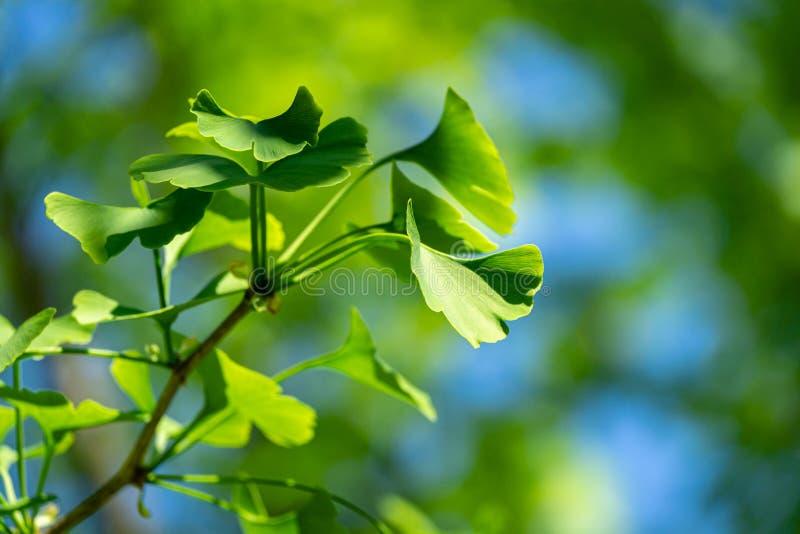 Del primo piano foglie verdi brillantemente del ginkgo biloba dell'albero del ginkgo, conosciute come il ginkgo o il gingko fotografia stock