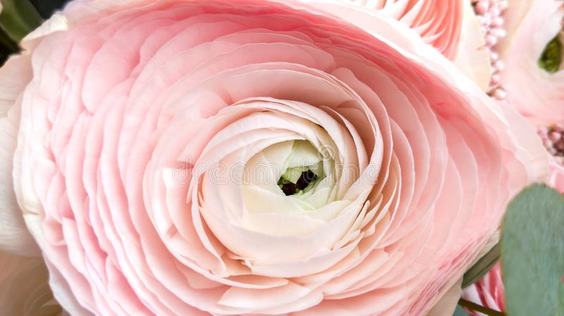Del ranuncolo del fiore del primo piano colore rosa delicatamente fotografie stock