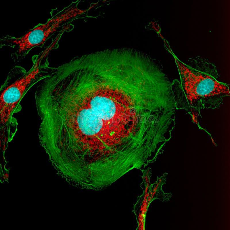 Dela fibroblastcellen royaltyfri bild