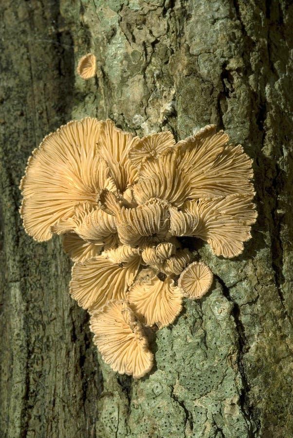 Dela-gäl svampar som bär frukt på dött trä royaltyfri bild