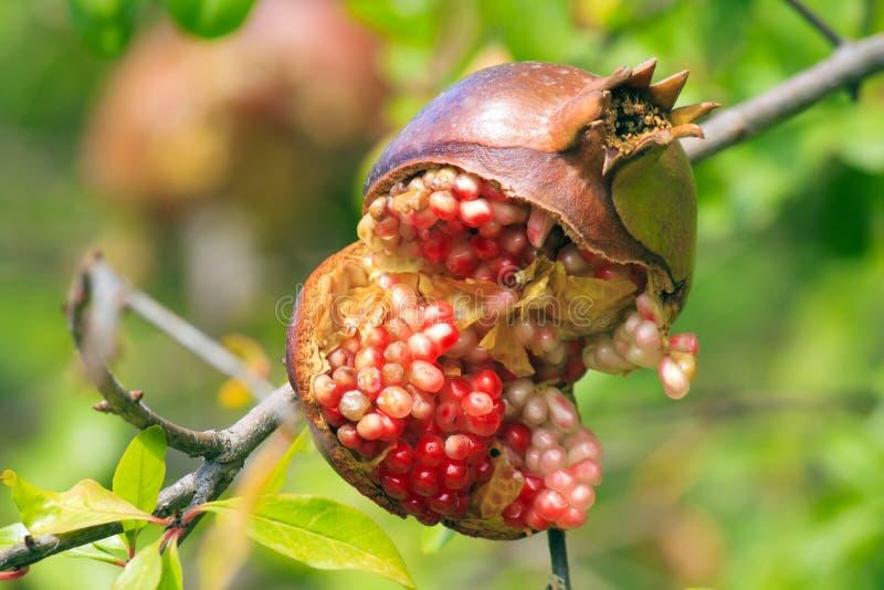 Delad Pomegranate arkivbild
