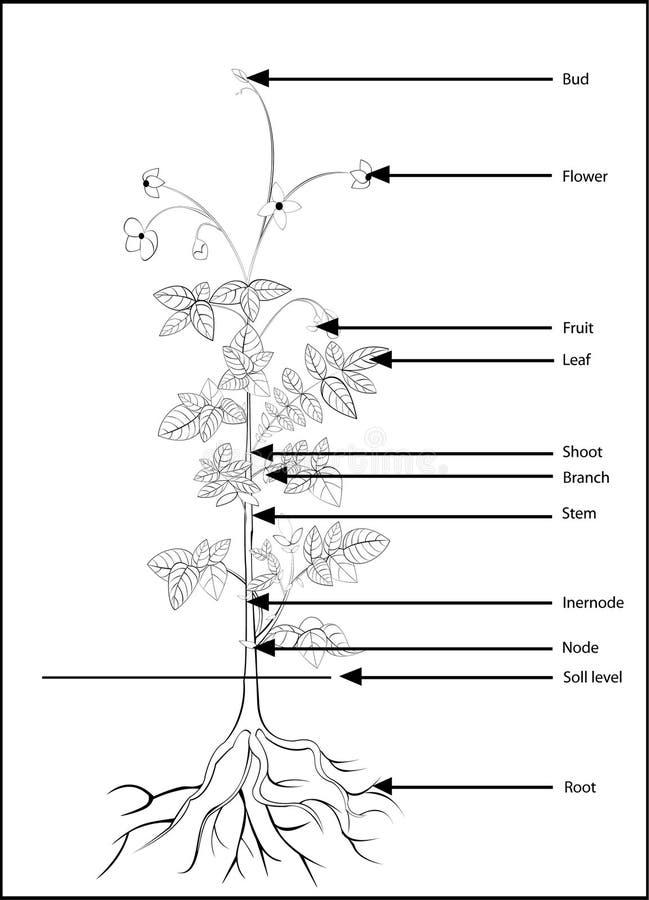 Delar av en blomningväxt, stock illustrationer