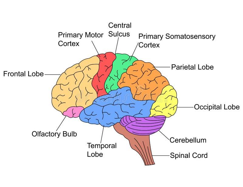 Delar av hjärnan vektor illustrationer