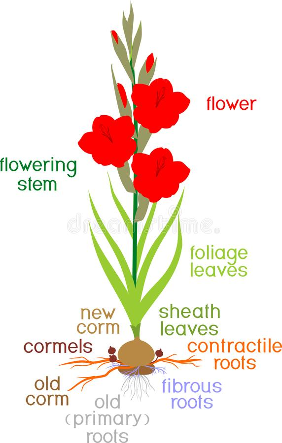 Delar av växten Morfologi av att blomma gladiolusväxten med gröna sidor, rotknöl, rotar och titlar vektor illustrationer