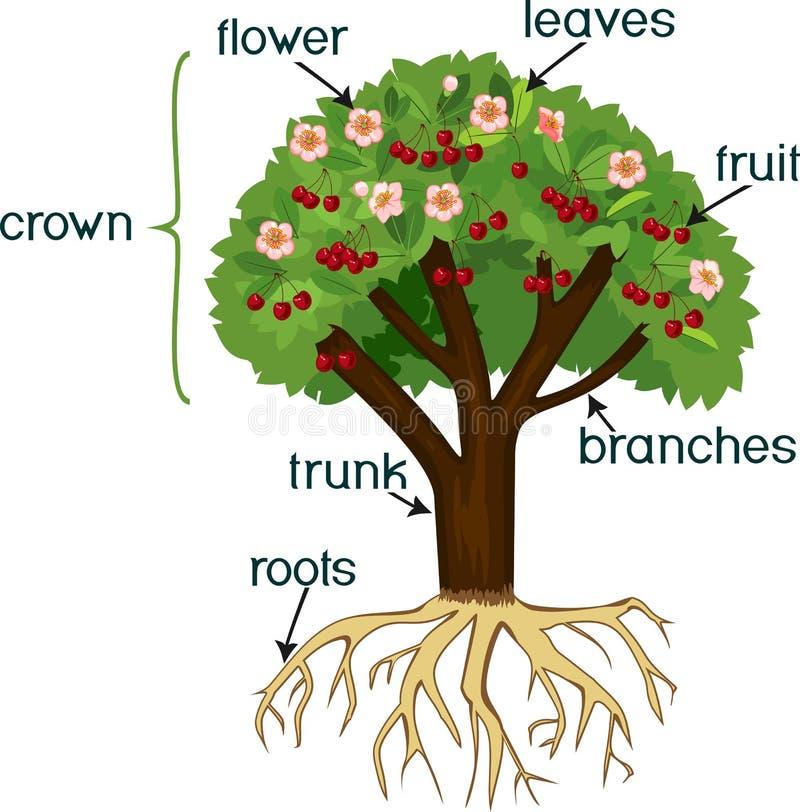 Delar av växten Morfologi av det körsbärsröda trädet med rotar systemet, blommar, bär frukt och titlar vektor illustrationer
