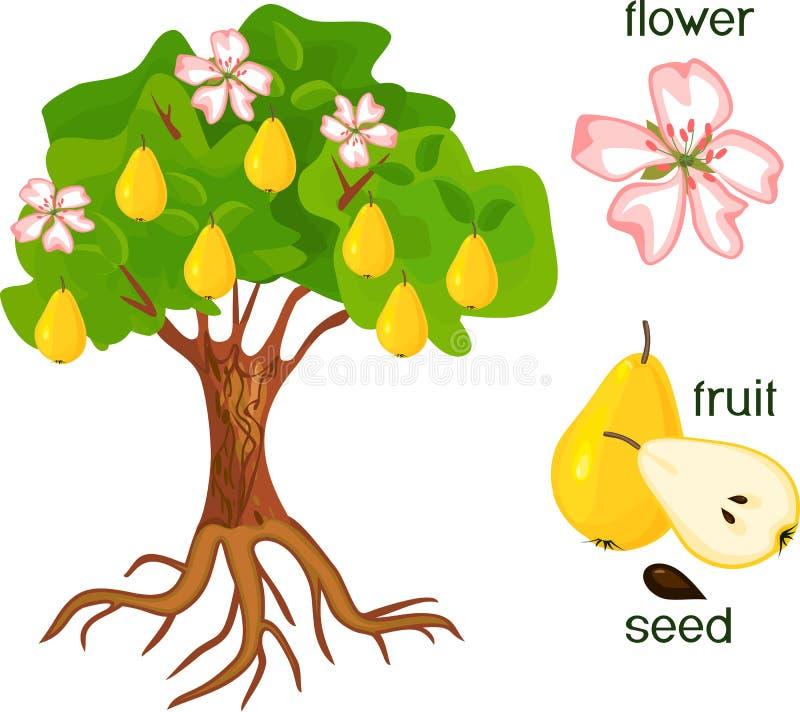 Delar av växten Morfologi av päronträdet med frukter, blommor, gräsplansidor och rotar systemet på vit bakgrund vektor illustrationer