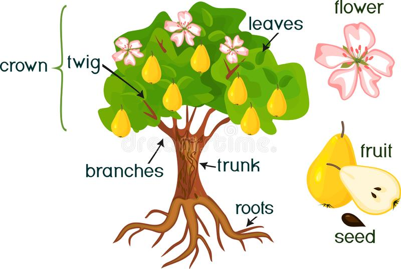 Delar av växten Morfologi av päronträdet med frukter, blommor, gräsplansidor och rotar systemet på vit bakgrund stock illustrationer